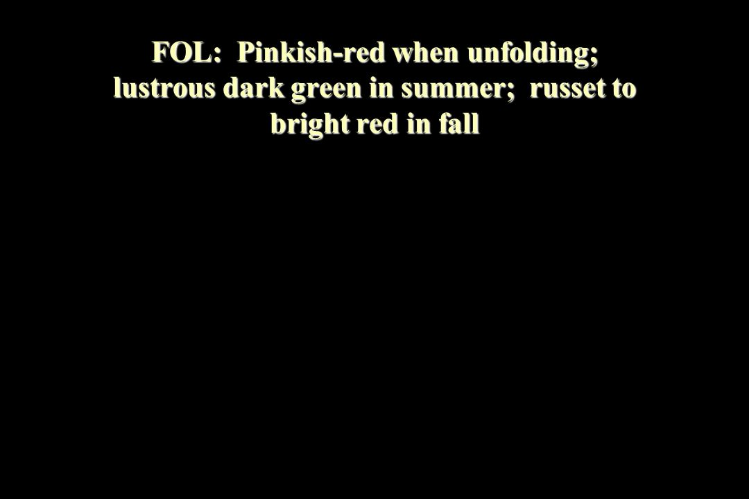 FOL: Pinkish-red when unfolding; lustrous dark green in summer; russet to bright red in fall