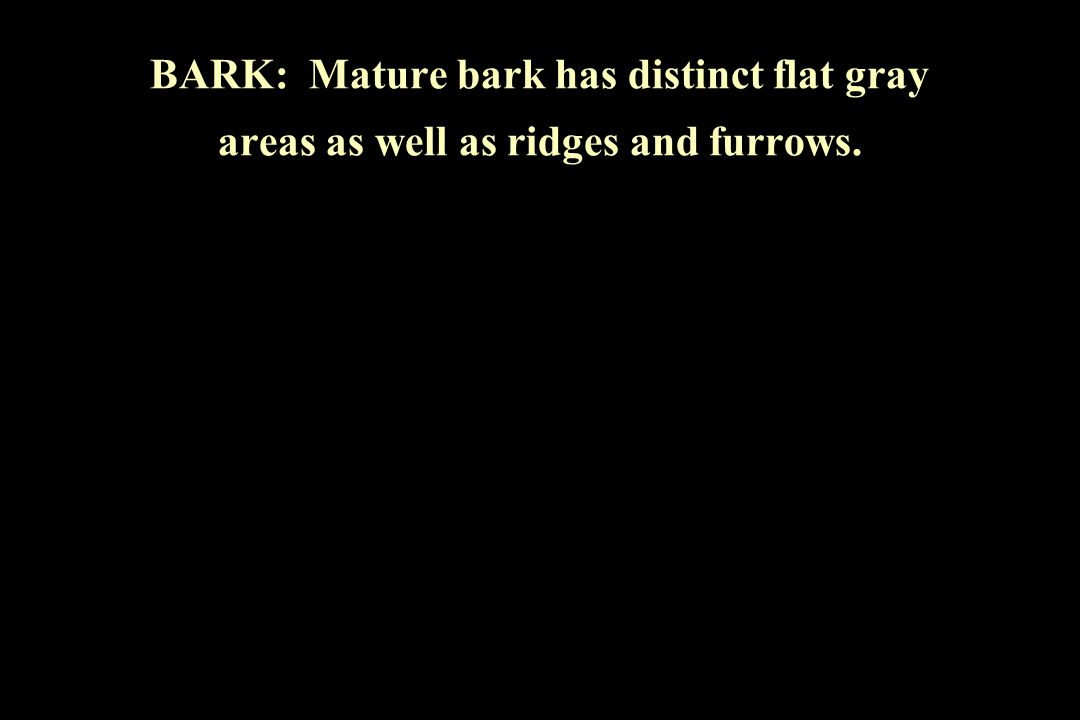 BARK: Mature bark has distinct flat gray areas as well as ridges and furrows.