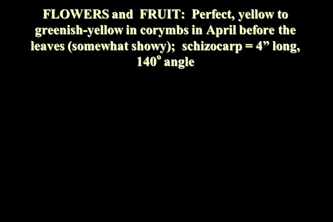 "FLOWERS and FRUIT: Perfect, yellow to greenish-yellow in corymbs in April before the leaves (somewhat showy); schizocarp = 4"" long, 140 o angle"