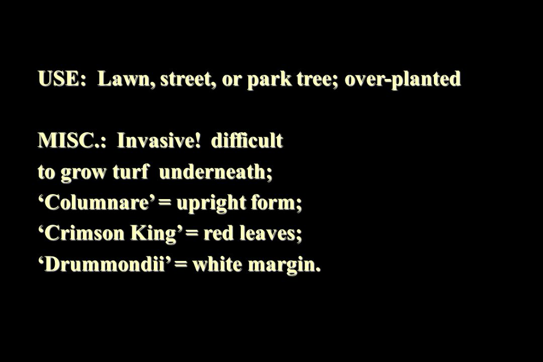USE: Lawn, street, or park tree; over-planted MISC.: Invasive.