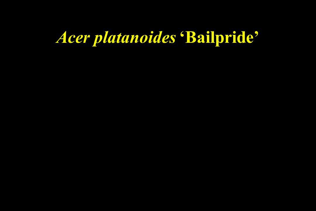 Acer platanoides 'Bailpride'
