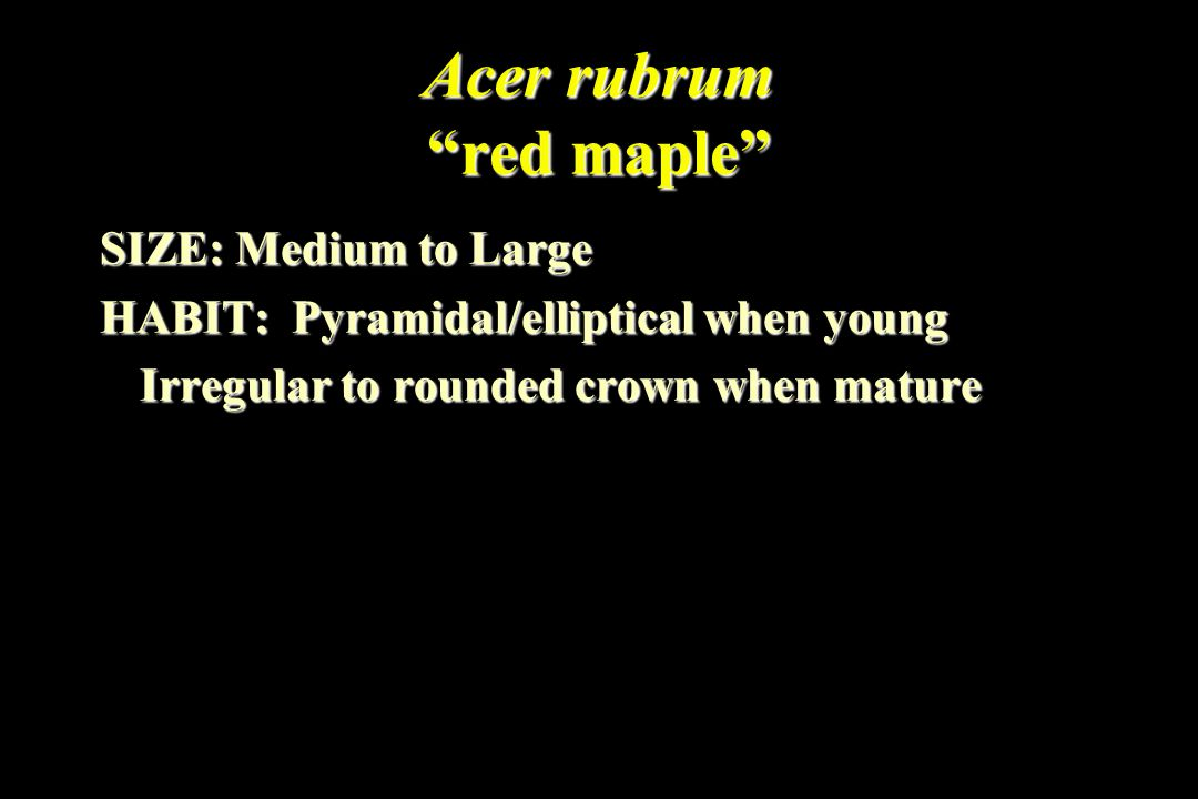 Acer rubrum red maple SIZE: Medium to Large HABIT: Pyramidal/elliptical when young Irregular to rounded crown when mature