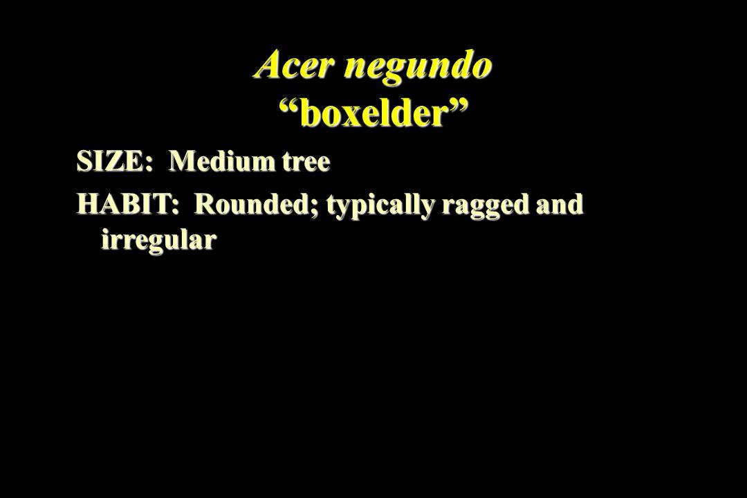 Acer negundo boxelder SIZE: Medium tree HABIT: Rounded; typically ragged and irregular