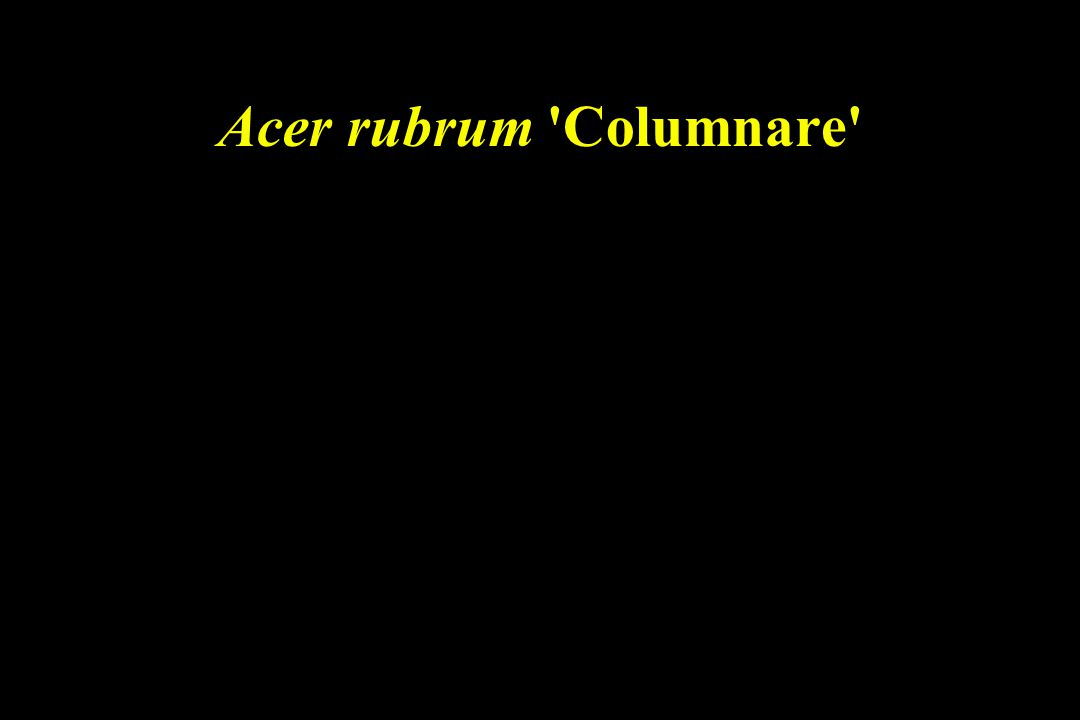 Acer rubrum Columnare