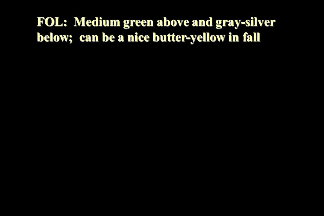 FOL: Medium green above and gray-silver below; can be a nice butter-yellow in fall