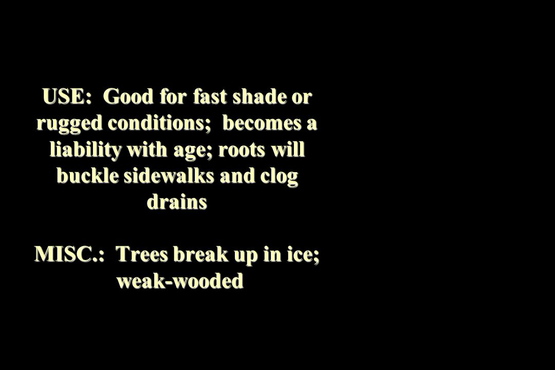 USE: Good for fast shade or rugged conditions; becomes a liability with age; roots will buckle sidewalks and clog drains MISC.: Trees break up in ice; weak-wooded