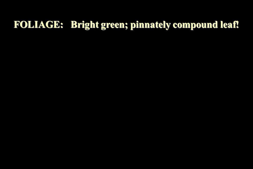 FOLIAGE: Bright green; pinnately compound leaf!