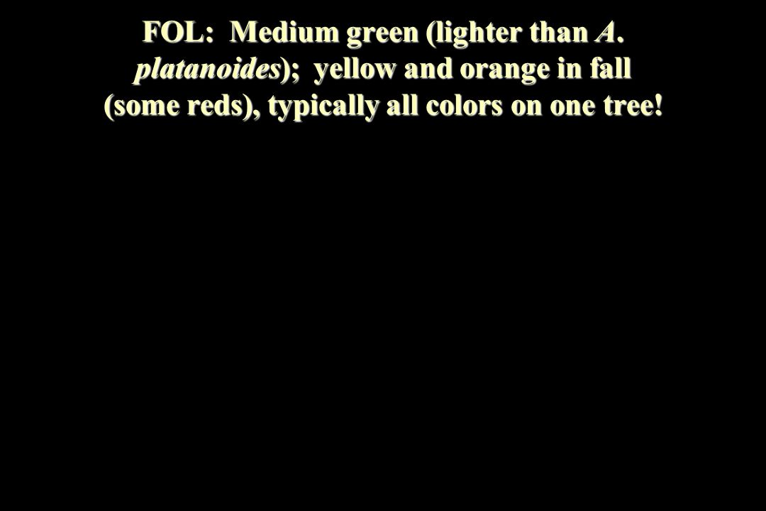 FOL: Medium green (lighter than A. platanoides); yellow and orange in fall (some reds), typically all colors on one tree!