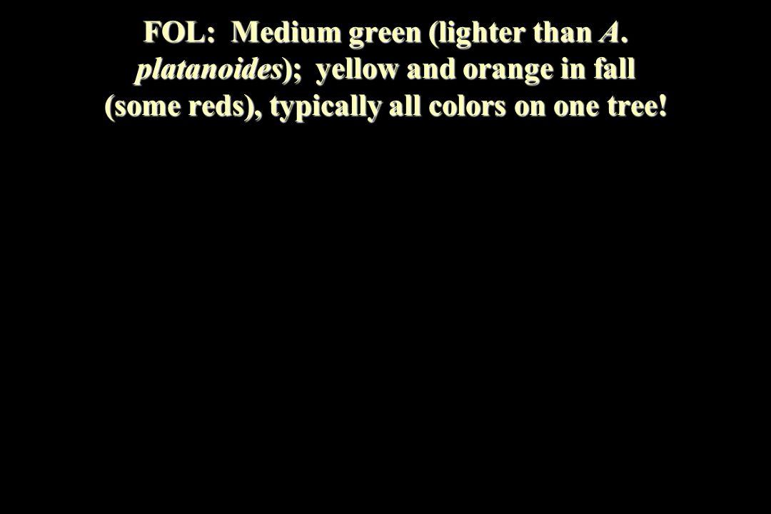 FOL: Medium green (lighter than A.