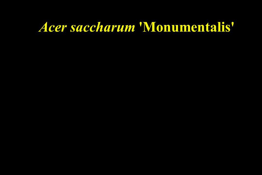 Acer saccharum Monumentalis