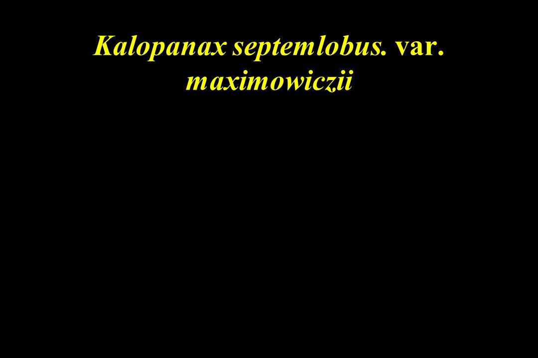 Kalopanax septemlobus. var. maximowiczii
