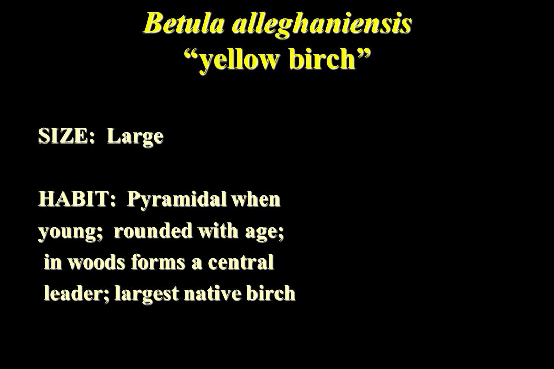 "Betula alleghaniensis ""yellow birch"" SIZE: Large HABIT: Pyramidal when young; rounded with age; in woods forms a central in woods forms a central lead"