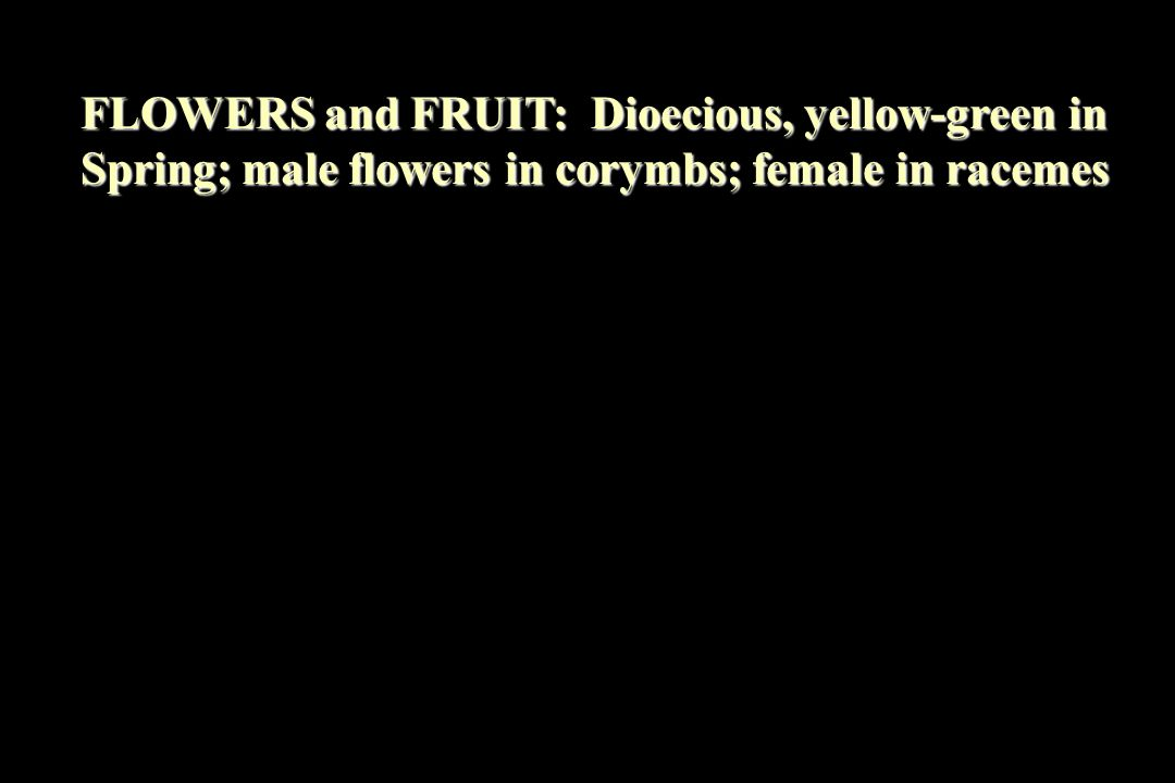 FLOWERS and FRUIT: Dioecious, yellow-green in Spring; male flowers in corymbs; female in racemes
