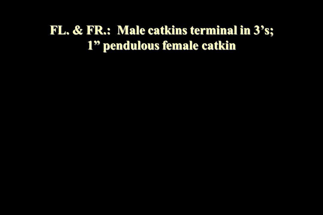 FL. & FR.: Male catkins terminal in 3's; 1 pendulous female catkin