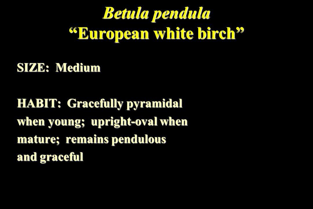 Betula pendula European white birch SIZE: Medium HABIT: Gracefully pyramidal when young; upright-oval when mature; remains pendulous and graceful