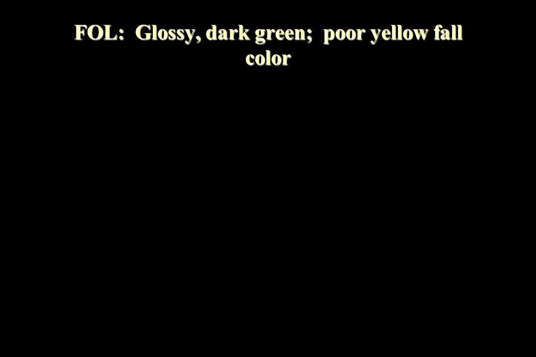 FOL: Glossy, dark green; poor yellow fall color