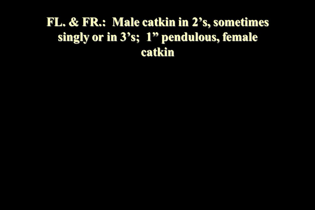FL. & FR.: Male catkin in 2's, sometimes singly or in 3's; 1 pendulous, female catkin