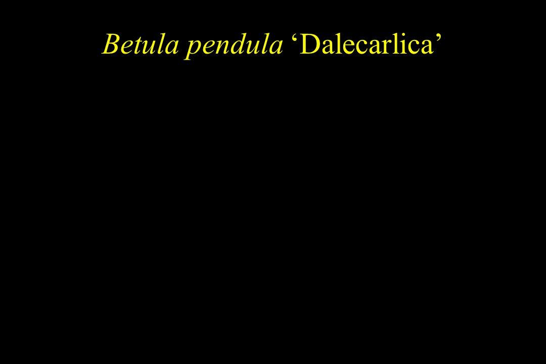 Betula pendula 'Dalecarlica'