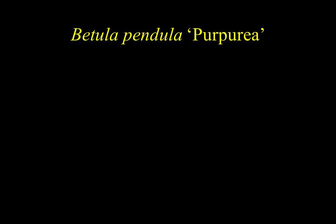 Betula pendula 'Purpurea'
