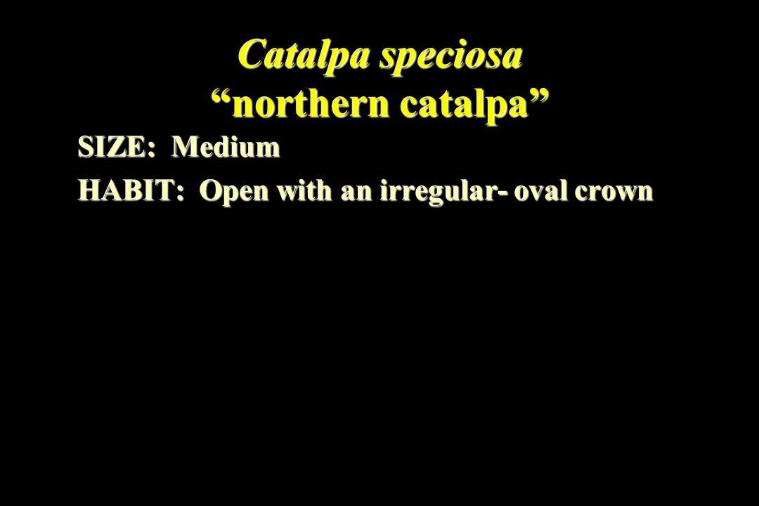 Catalpa speciosa northern catalpa SIZE: Medium HABIT: Open with an irregular- oval crown