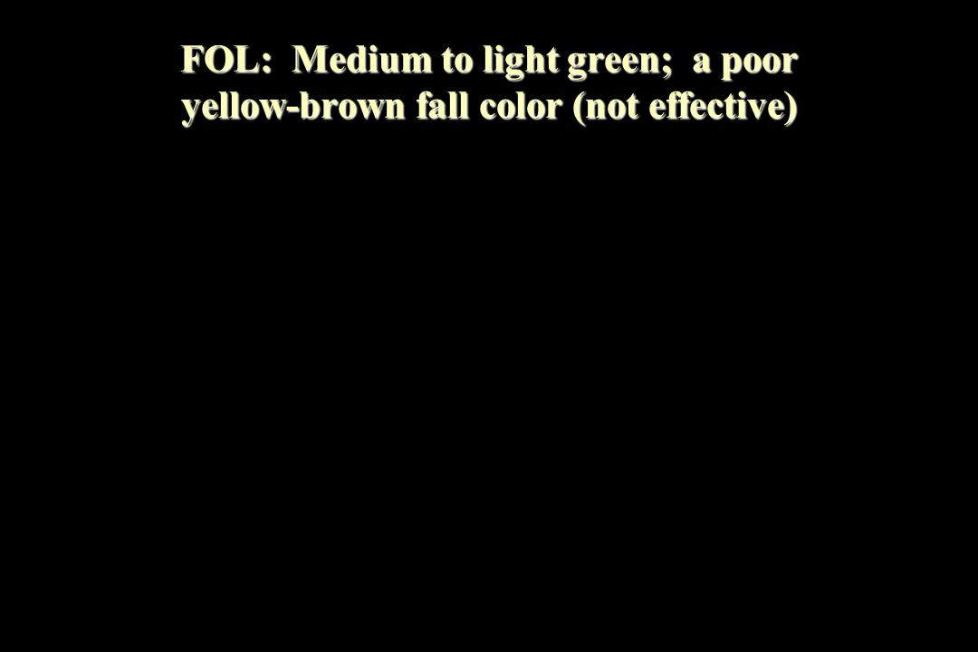 FOL: Medium to light green; a poor yellow-brown fall color (not effective)
