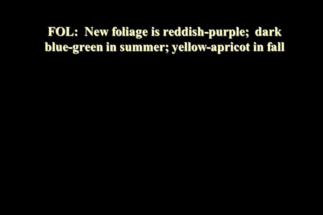 FOL: New foliage is reddish-purple; dark blue-green in summer; yellow-apricot in fall