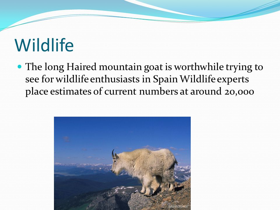 Wildlife The long Haired mountain goat is worthwhile trying to see for wildlife enthusiasts in Spain Wildlife experts place estimates of current numbe