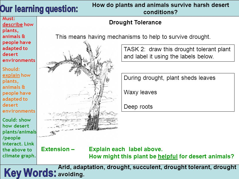 Arid, adaptation, drought, succulent, drought tolerant, drought avoiding. How do plants and animals survive harsh desert conditions? Drought Tolerance
