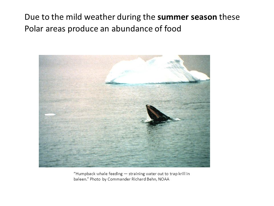 Due to the mild weather during the summer season these Polar areas produce an abundance of food Humpback whale feeding — straining water out to trap krill in baleen. Photo by Commander Richard Behn, NOAA