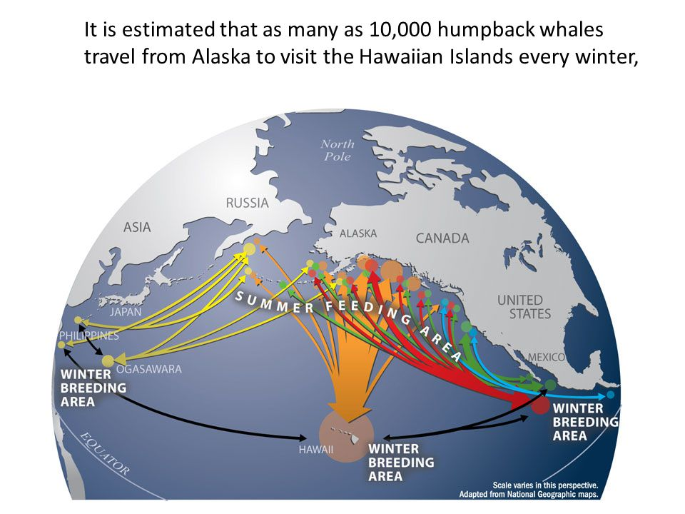 It is estimated that as many as 10,000 humpback whales travel from Alaska to visit the Hawaiian Islands every winter,
