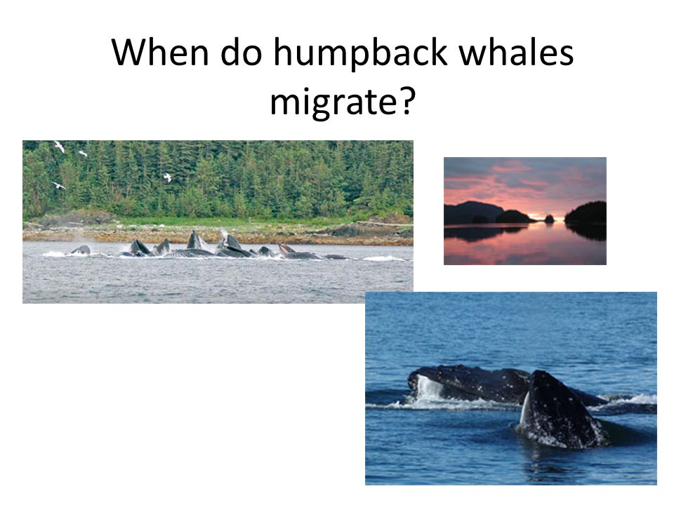 When do humpback whales migrate?