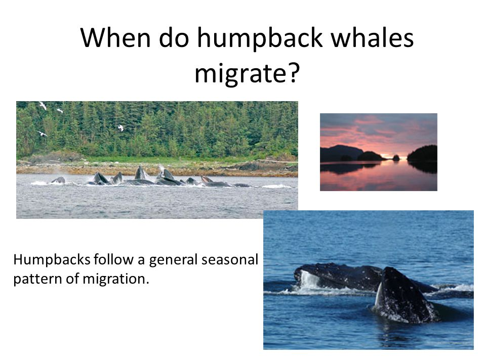 Humpbacks follow a general seasonal pattern of migration.