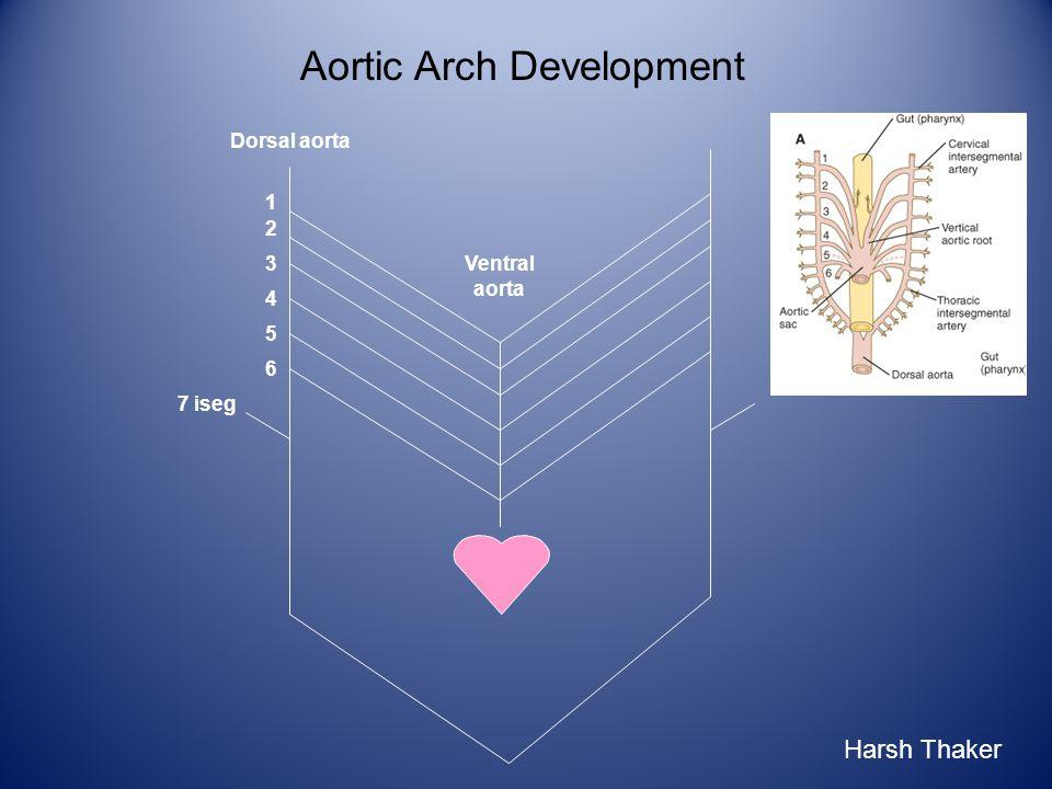 Aortic Arch Development 1 2 3 6 4 5 7 iseg Ventral aorta Dorsal aorta Harsh Thaker