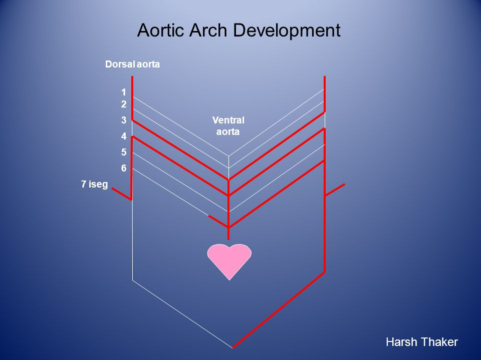 Aortic Arch Development 1 2 3 6 4 5 7 iseg Ventral aorta Dorsal aorta Harsh Thaker