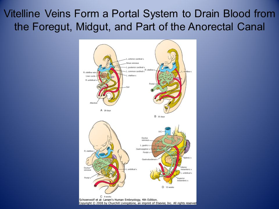 Vitelline Veins Form a Portal System to Drain Blood from the Foregut, Midgut, and Part of the Anorectal Canal