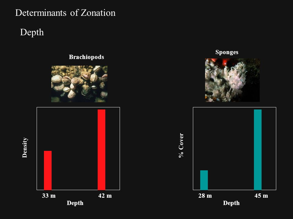 Determinants of Zonation Depth Density Depth 33 m42 m % Cover Depth 28 m45 m Brachiopods Sponges