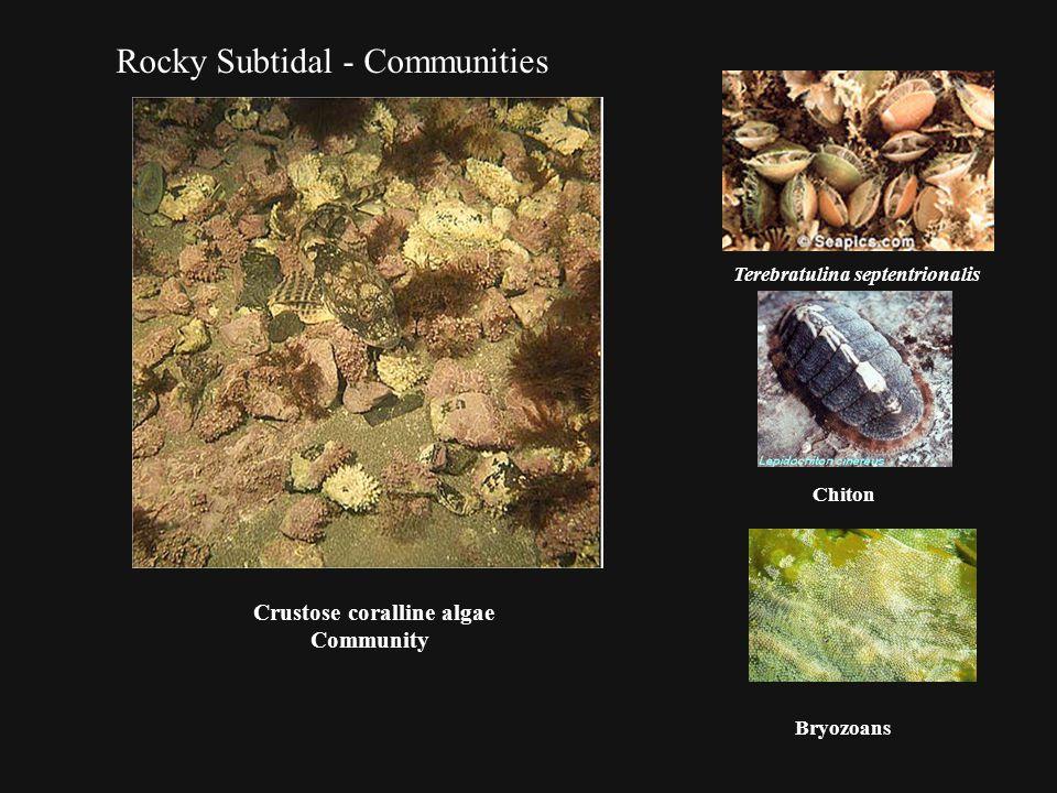 Rocky Subtidal - Communities Crustose coralline algae Community Terebratulina septentrionalis Chiton Bryozoans