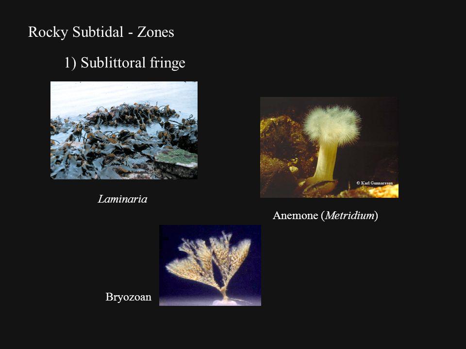 Rocky Subtidal - Zones 1) Sublittoral fringe Laminaria Bryozoan Anemone (Metridium)