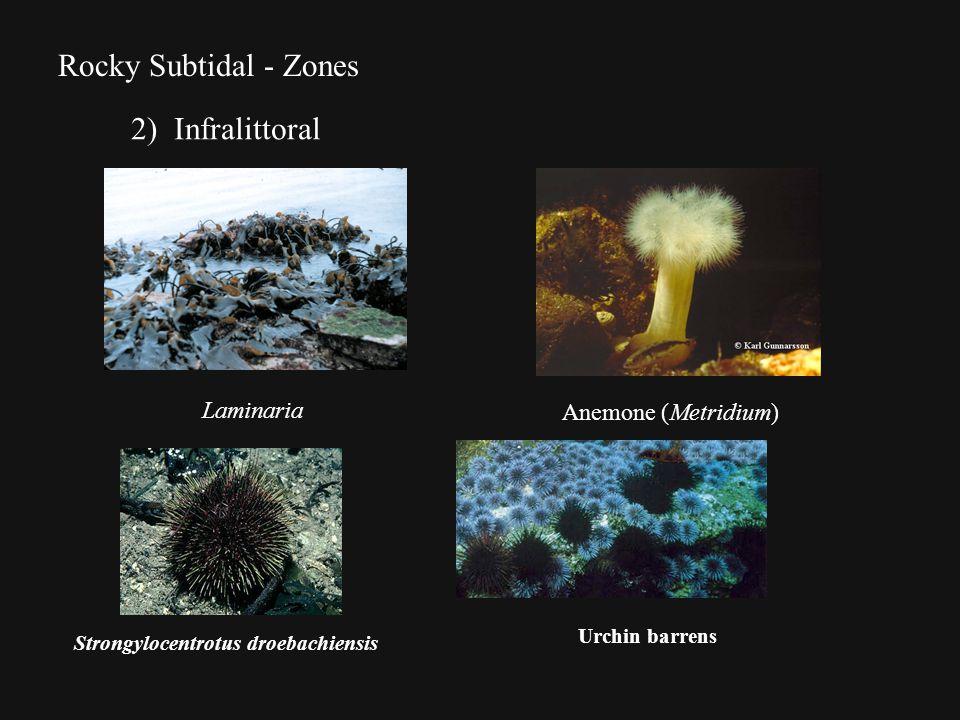 Rocky Subtidal - Zones 2) Infralittoral Laminaria Anemone (Metridium) Strongylocentrotus droebachiensis Urchin barrens