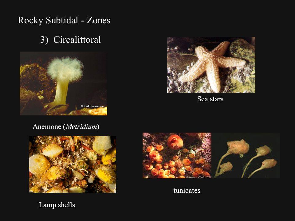 Rocky Subtidal - Zones 3) Circalittoral Anemone (Metridium) tunicates Sea stars Lamp shells