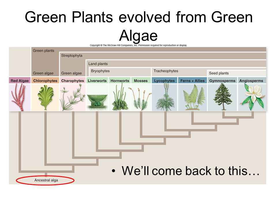 Green Plants evolved from Green Algae We'll come back to this…