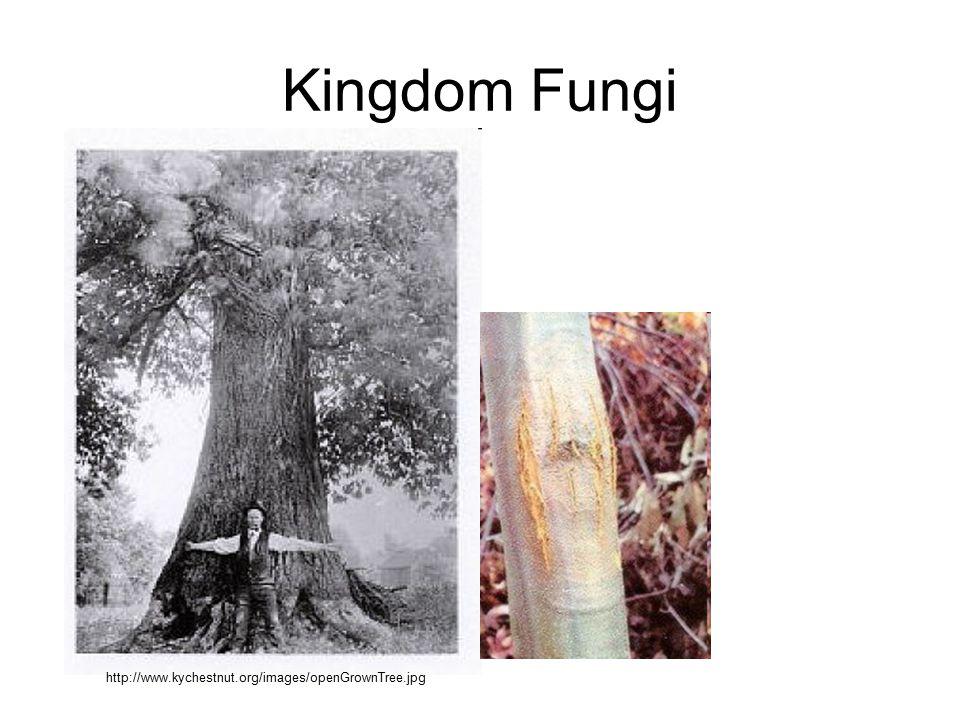 Kingdom Fungi http://www.kychestnut.org/images/openGrownTree.jpg