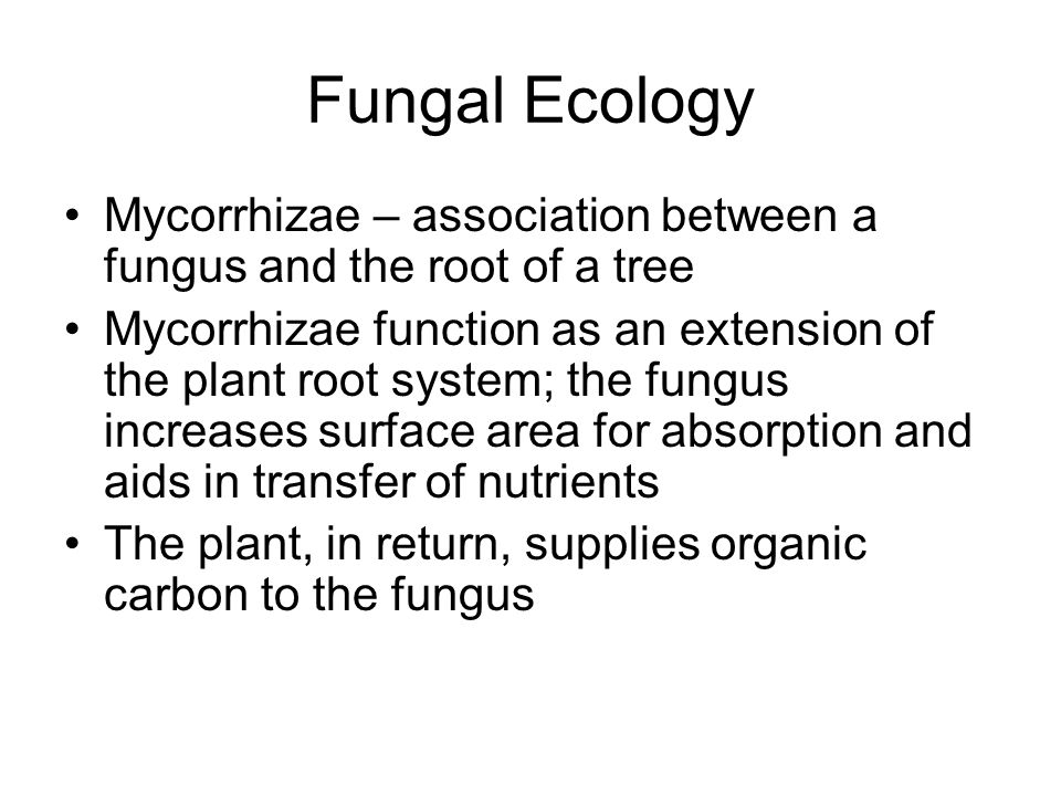 Fungal Ecology Mycorrhizae – association between a fungus and the root of a tree Mycorrhizae function as an extension of the plant root system; the fu