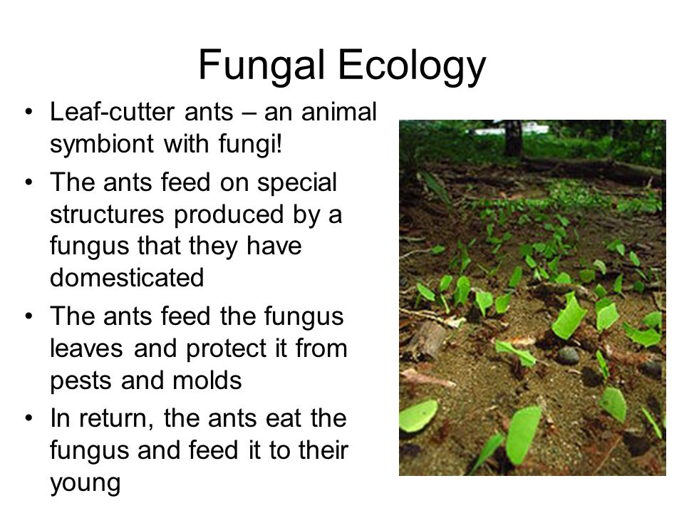 Fungal Ecology Leaf-cutter ants – an animal symbiont with fungi! The ants feed on special structures produced by a fungus that they have domesticated