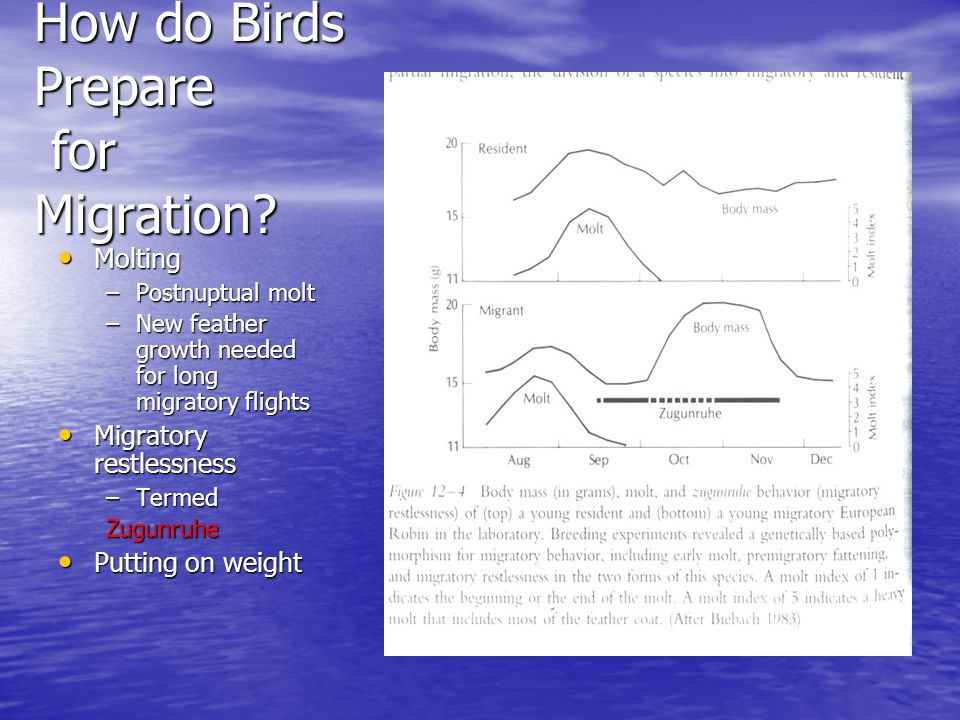 How do Birds Prepare for Migration? Molting Molting –Postnuptual molt –New feather growth needed for long migratory flights Migratory restlessness Mig