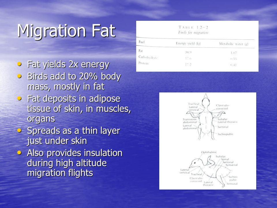Migration Fat Fat yields 2x energy Fat yields 2x energy Birds add to 20% body mass, mostly in fat Birds add to 20% body mass, mostly in fat Fat deposits in adipose tissue of skin, in muscles, organs Fat deposits in adipose tissue of skin, in muscles, organs Spreads as a thin layer just under skin Spreads as a thin layer just under skin Also provides insulation during high altitude migration flights Also provides insulation during high altitude migration flights