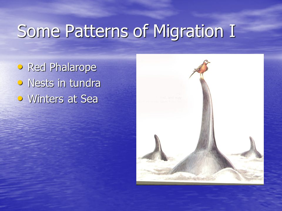 Some Patterns of Migration I Red Phalarope Red Phalarope Nests in tundra Nests in tundra Winters at Sea Winters at Sea