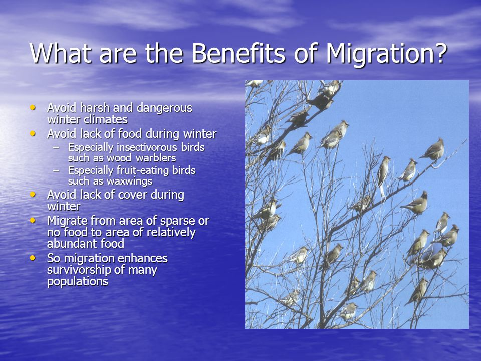 What are the Benefits of Migration? Avoid harsh and dangerous winter climates Avoid harsh and dangerous winter climates Avoid lack of food during wint