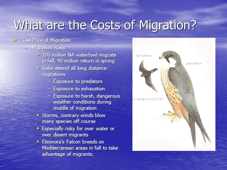 What are the Costs of Migration? The Price of Migration The Price of Migration –Migration Risks 100 million NA waterfowl migrate in fall, 40 million r