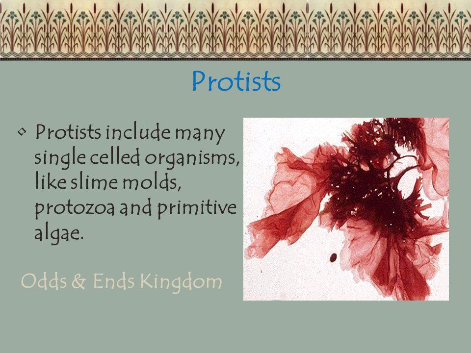 Protists Protists include many single celled organisms, like slime molds, protozoa and primitive algae. Odds & Ends Kingdom